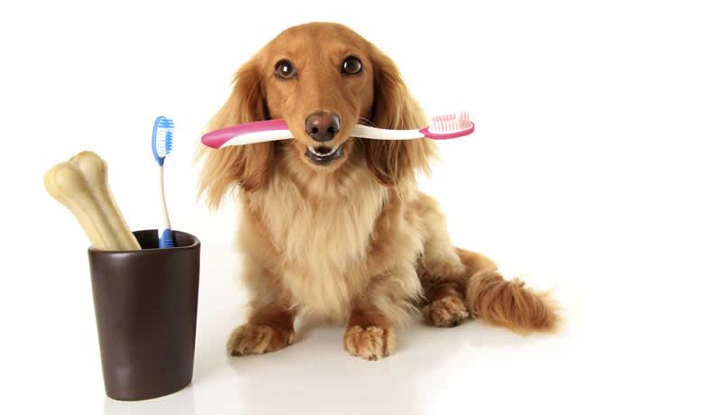 Cãozinho com uma escova de dentes cor de rosa na boca e ao seu lado, um potinho marron com outra escova de dentes azul e um osso sintético dentro deste pote