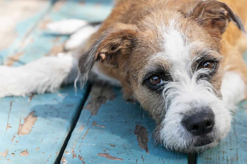 Um cãozinho da raça Fox Terrier, com um olhar tristonho e deitado sobre um piso de madeira com a pintura azul descascando
