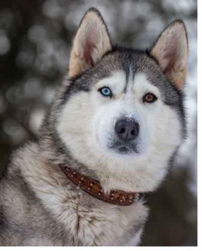 Cão da raça Husky Siberiano, cinza e branco, com um dos olhos de cor castanha e o outro de cor azul claro